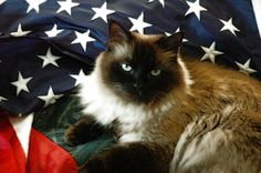 Now THIS is American! God bless America and God bless every feline!