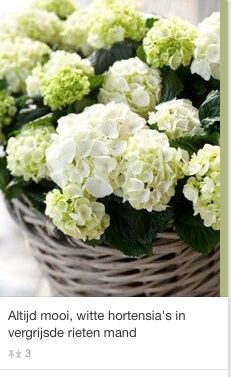 witte hortensia's in vergrijsde rieten mand