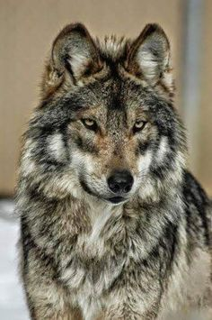 Mexican gray wolf (lobo) at Endangered Wolf Center, photo credit theirs. Wolf Love, Wolf Eyes, Lone Wolf, Wolf Photos, Wolf Pictures, Beautiful Creatures, Animals Beautiful, Cute Animals, Wolf Spirit