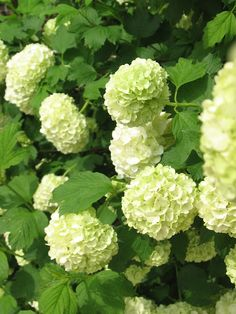 The 546 best viburnum snowball images on pinterest in 2018 viburnum opulus snowball flowers there were bushes of them by the front porch mightylinksfo