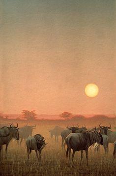 "Robert Bateman - Paintings 40"" x 30"", acrylic Wildebeest at Sunset"