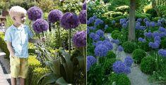 Allium nebo okrasný česnek je nenáročná rostlinka, která si v podstatě nevyžaduje žádnou specifickou pozornost. Dobře se jí daří v částečném stínu, ale i na slunných místech s obyčejnou půdou. Allium lze sázet na podzim a na jaře. Pokud máte spíše kvetoucí odrůdu, zasaďte ji v září, aby se cibulky zakořenily a mohly vykvést na […] Diva, Vegetables, Plants, Divas, Vegetable Recipes, Plant, Veggies, Planets, Godly Woman