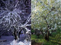 Sama omenapuu talvella ja keväällä.