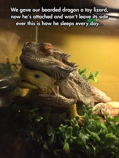 Funny pictures about Bearded Dragon Finds A Friend. Oh, and cool pics about Bearded Dragon Finds A Friend. Also, Bearded Dragon Finds A Friend photos. Funny Animal Pictures, Cute Funny Animals, Hilarious Pictures, Funny Photos, Animals And Pets, Baby Animals, Wild Animals, Animals Kissing, Nature Animals