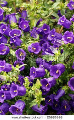 Mauve Canterbury Bells Purple Garden, Kinds Of Colors, Canterbury, Mauve, Planting Flowers, Beautiful Flowers, Photo Editing, Royalty Free Stock Photos, Garden Ideas