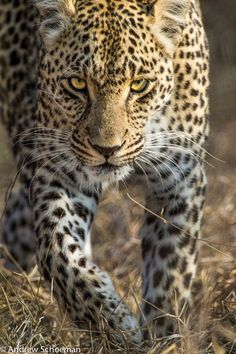 She means business.  Africa |  A Female Leopard in the Sabi Sand Game reserve South Africa | by Andrew Schoeman