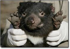 The 5 Most Horrifyingly Bad Mothers in the Animal Kingdom Funny Animals, Cute Animals, Wild Animals, Quokka, Lots Of Cats, Tasmanian Devil, Opossum, Animal 2, Cute Little Things
