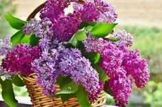 Šeřík – poklad do každé rodiny | tadesco.org Gardening Gifts For Mom, Garden Gifts, Lilac Flowers, Fresh Flowers, May Garden, Syringa Vulgaris, Plantation, Culture, Fragrance Oil