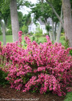 Sonic Bloom® Pink is a Reblooming Weigela with hot pink buds that burst into pink flowers in May. Best yet is those blooms keep on coming all season, until frost without deadheading! Hardy to zone 5.
