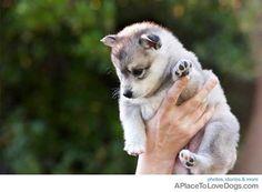 "syin: ""Alaskan Klee Kai (miniature husky), where have you been all my life? Alaskan Klee Kai, Small Puppies, Cute Puppies, Cute Dogs, Dogs And Puppies, Doggies, Love My Dog, Grey Dog, Cute Little Animals"