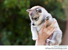 Alaskan Klee Kai, buying this little nugget as soon as I graduate!