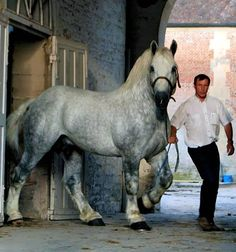 PARIS PERCHERON HORSE