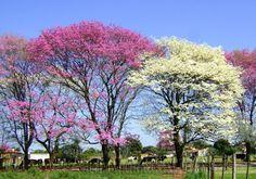 LAPACHO. Florecen en el mes de septiembre  hasta octubre. El árbol nativo de Paraguay url: http://3.bp.blogspot.com/-igfUe1ngkfw/UECyaJozc3I/AAAAAAAAAA4/dVsfZOyDN2g/s640/lapacho.jpg