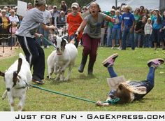 "Googled ""goat race"" was not disappointed"