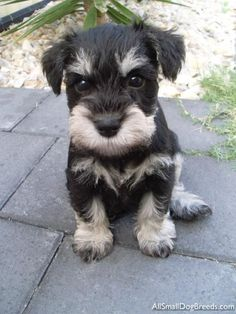 OMG this little mini Schnauzer puppy is just so adorable