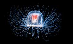 Медуза Turritopsis Nutricula, которая, по популярной версии ученого Фернандо Боэро, бессмертна