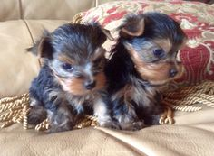 Duke of Yorkie and his Tiny Brother - From Tiny Troubles Arizona Best Breeder!
