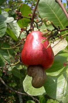 cashew fruit--French Cashews. Cashew actually comes from a fruit grown on trees. The bottom part is the cashew but the top part is a sweet fruit. First had in Grenada!