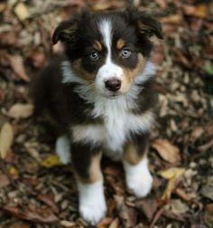 australian shepherd puppy- so cute!