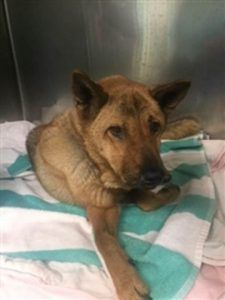 SUPER URGENT 12/06/17 Brooklyn Center CHESTNUT – 15479 **NEEDS FOLLOW UP VET CARE ASAP** 12 yr. female, tan, stray, 25 pounds: DVM Intake Exam; Estimated age: ~12yrs; Microchip noted on Intake? No ;History : Brought in by NYPD;