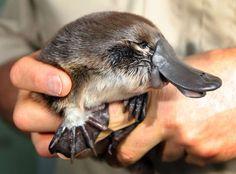 An adorable baby Platypus! Baby Platypus, Duck Billed Platypus, Cute Baby Animals, Animals And Pets, Baby Donkey, Australia Animals, Baby Ducks, Fauna, Animals Beautiful