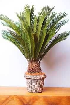 Faux Plants, Plants Indoor, Green Plants, Indoor Garden, Sago Palm, Drought Resistant Plants, Sandy Soil, Interior Plants, Garden Planters