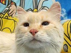 Snowball * Meet Snowball, a Petfinder adoptable Siamese Cat in Anaconda, MT | Petfinder.com