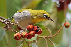 Oriental White-Eye - It is a resident breeder in open woodland in tropical Asia east from India to China and Indonesia.  They forage in small groups, feeding on nectar and small insects. They are easily identified by the distinctive white eye-ring and overall yellowish upperparts.