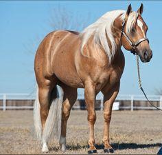 Quarter Horse stallion Shiners Voodoo Dr.