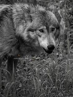 Wolfwatcher Photo