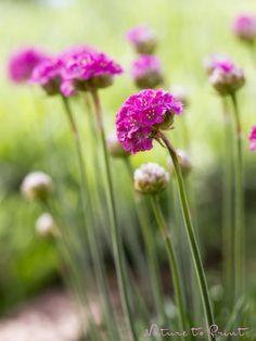 Frühlingsbild auf Leinwand kleine Grasnelken im Garten