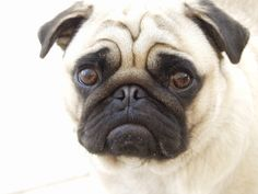 My experience with a HydraFacial and why you might want to consider Microdermabrasion prior. The treatment helps with wrinkles and who has cuter wrinkles than a pug?