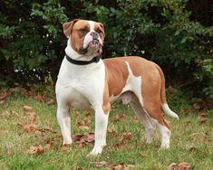 American Bulldog   American Bulldog Images and Facts