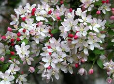 flowering crab apple trees are my favorite of all time!