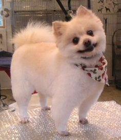pomeranian haircut styles your pomeranian look like a fierce with 2273 | 0c019469656f6f8b23ae5ce5ba2ea115 pomeranian haircut pom poms