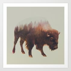 Bison, Buffalo, bull, buck...