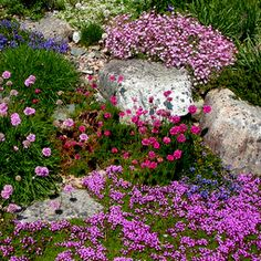 Medium Rock Garden Collection:  Includes 36 rock plants, a small conifer and a dwarf shrub, $242.00 U.S. + Free Shipping! - Arrowhead Alpines