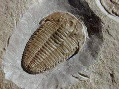 Hatangia Trilobites from Siberia   Hatangia scita  Trilobites Order Ptychopariida, Suborder Ptychopariina, Superfamily Ptychoparioidea, Family Proasaphiscidae (formerly Tengfengiidae)   Geological Time: Middle Cambrian  Size: Complete trilobites are 24 mm and 15 mm  Fossil Site: River Saluda E2m Horizon, Anabar Region, Siberia, Russia