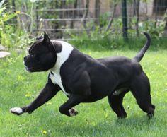 /alapaha-blue-blood-bulldog/pictures/alapaha-blue-blood-bulldog/images/2013/7/25/alapaha-blue-blood-bulldog/pictures/alapaha-blue-blood-bull...