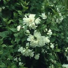 chlorophytum phalang re plante araign e plantes pinterest plantes jardinage et les plantes. Black Bedroom Furniture Sets. Home Design Ideas