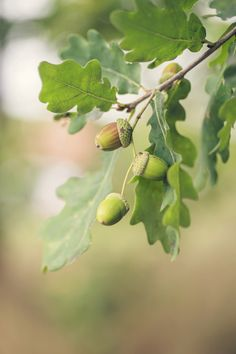 acorns are ripening