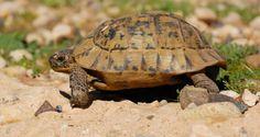Marokkanische Landschildkröte