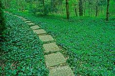 vinca minor pathway (evergreen shade ground cover native to Europe)