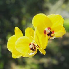More #phalenopsis in bloom today! #orchid #orchidlover #flower #flowers #garden #mygarden #inbloom #bloom #pretty #gorgeous #flowerstagram #nature #picoftheday #rainbowsendgarden #florida #southflorida #floridalife #gardening #gardenlife #life #enjoy #love #thankful #photography #orchids #photoshoot #photographer #winter #joy
