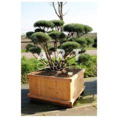 Arbre nuage Pinus sylvestris Watereri taille 140/150 caisse bois 110x110