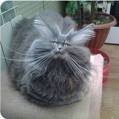 Bad Hair Day Cat cute animals cat cats adorable animal kittens pets kitten funny pictures funny animals funny cats Tap the link for an awesome selection cat and kitten products for your feline companion! Funny Animal Jokes, Funny Cat Memes, Cute Funny Animals, Funny Humor, Hilarious, Cats Humor, Animal Humour, Funny Cute Cats, Animal Funnies