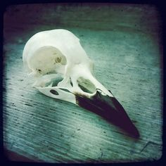Perfect Real Magpie Skull Complete With Jaw And Beak Sheath - Pagan Taxidermy Bones Ritual Pendant Talisman Charm Goth Shaman Corvid Weird on Etsy, Bone Crafts, Animal Bones, Bird Skull, Vulture, Magpie, Taxidermy, Antlers, Pagan, Skulls