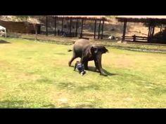 VIDEO. L'éléphant, cet animal dévoué