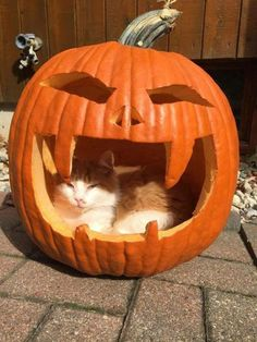 If your cat consumes Halloween candy it could lead to diarrhea vomiting seizures an abnormal heartbeat or death depending on the amount consumed. Samhain, Halloween Cat, Halloween 2020, Happy Halloween, Spooky Scary, Tier Fotos, Happy Fall, Pet Shop, Pumpkin Carving