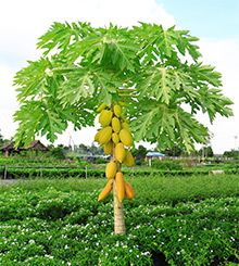 papaya tree can be container grown.  plant in pot if you live in a colder area and bring indoors for the winter